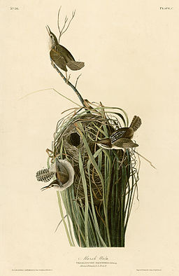 100_Marsh_Wren_cropped (wiki commons)