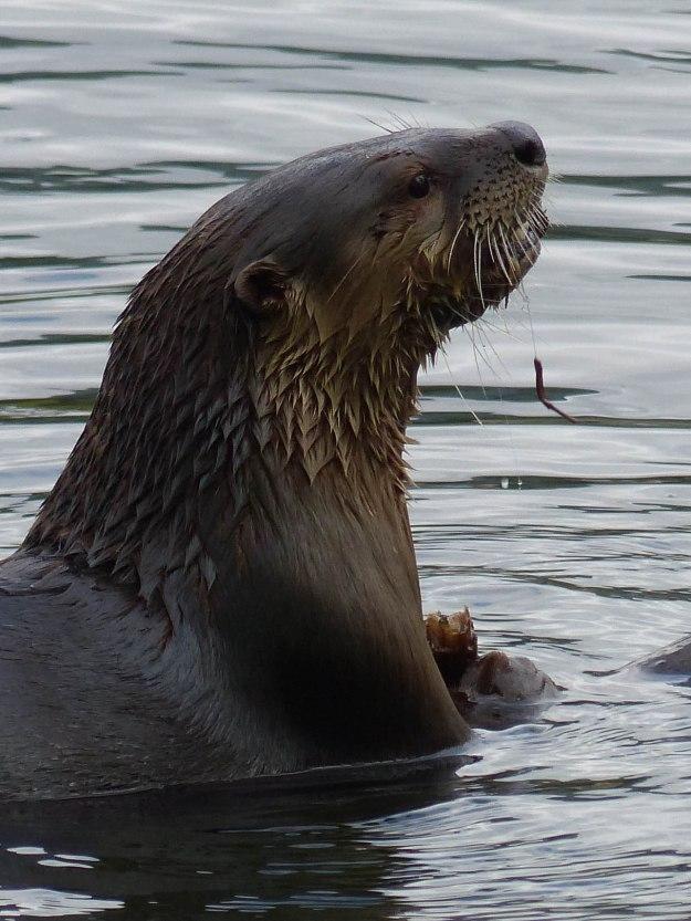 Lake Lafarge River Otter-1000838