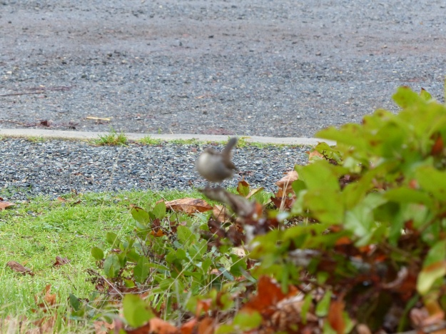 Camera misfocus on Bewick's Wren.