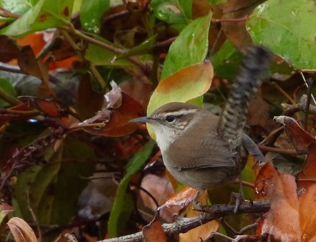 Bewick's Wren at Neck Point, Nanaimo, 2015-11-05