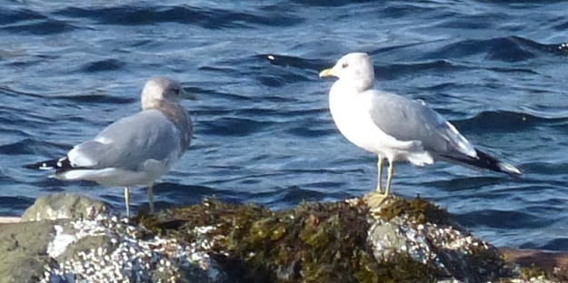 Mew Gulls at Pipers Lagoon, Nanaimo, 2015-11-05