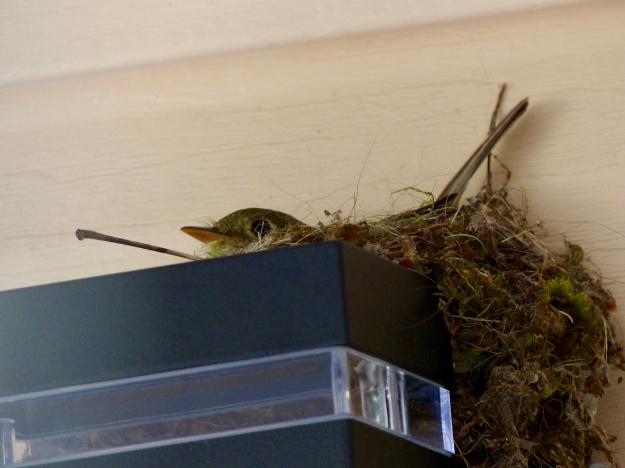PSFC Nest P1180287